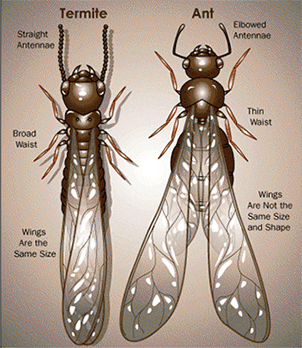 Difference between termites and winged ants